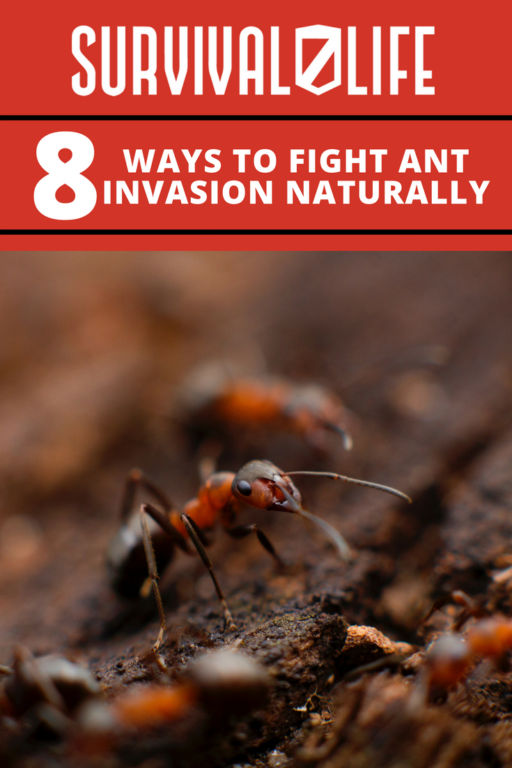 Fight An Ant Invasion Naturally With These Tips | https://survivallife.com/fight-antvasion/