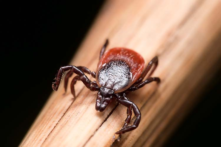 Natural tick repellents will keep ticks away from humans and pets alike.