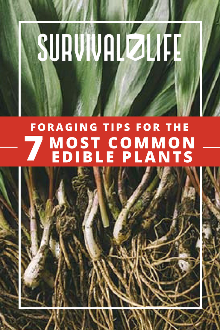 Check out Foraging Tips for the 7 Most Common Edible Plants at https://survivallife.com/7-most-common-edible-plants/