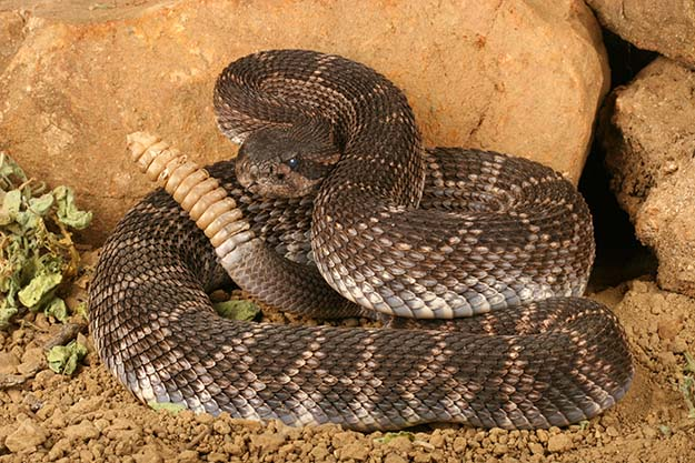 The 7 Most Dangerous Animals In North America Snake