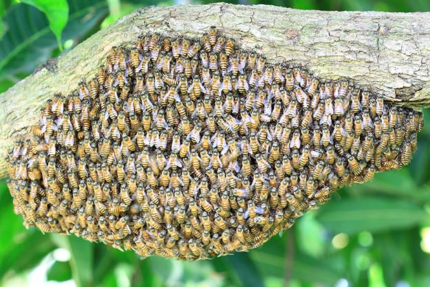 A swarm of honey bees hanging from a branch