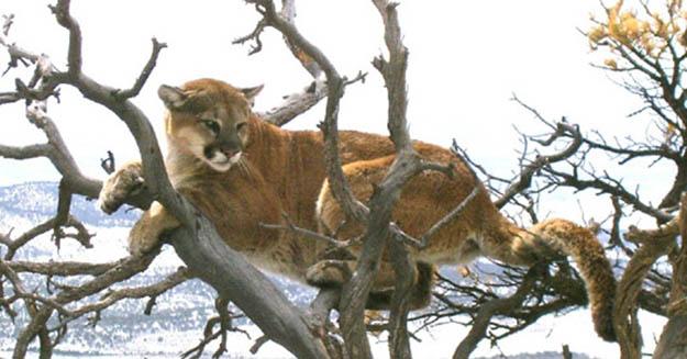 Mountian Lion Hunting Season | Colorado Hunting Laws And Regulations