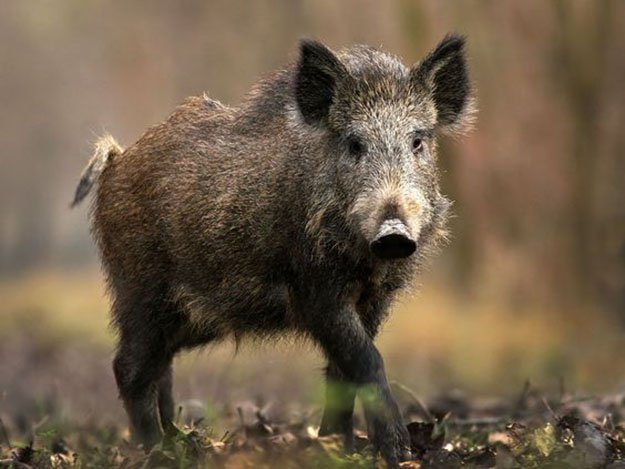 Hunting Wild Hogs in Florida | Florida Hunting Laws and Regulations