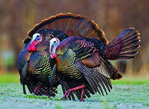 Turkey Hunting in Illinois | Illinois Hunting Laws