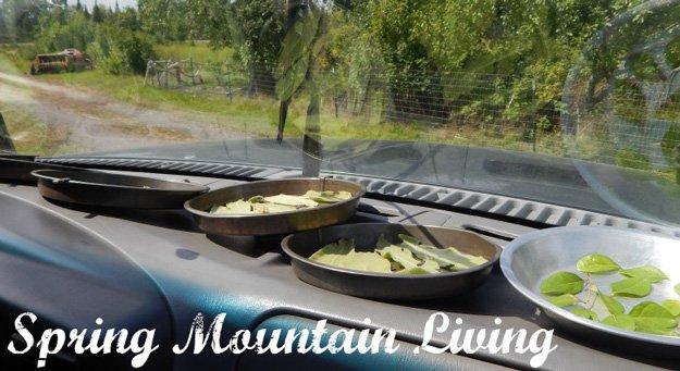 herbs-drying-in-car