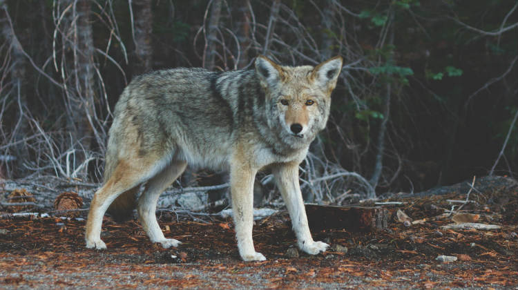 How To Get Rid Of Coyotes On Your Property