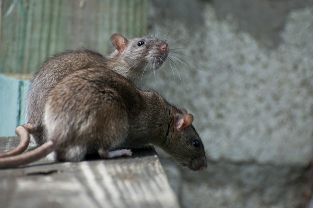 two-rats-on-wooden-plank 9 Ways to Repel Rats Naturally For A Rodent-Free Fall