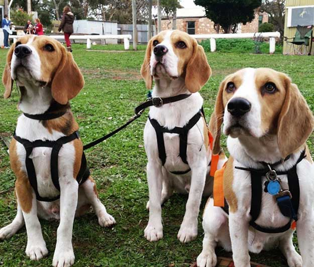 Don't Overdo It | The Do's and Don'ts of Beagle Hunting