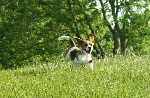 Give Them The Exercise They Need | The Do's and Don'ts of Beagle Hunting