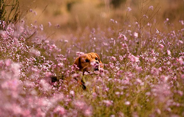 Become Their Home Base | The Do's and Don'ts of Beagle Hunting
