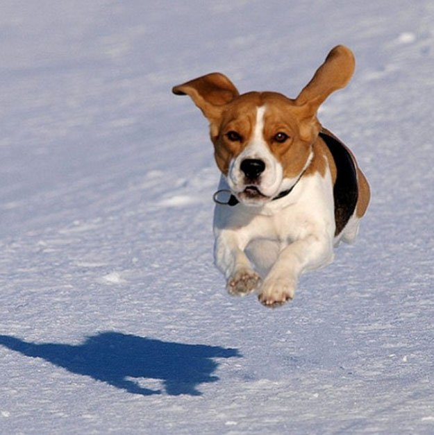 Don't Give Them Advance Obedience Training | The Do's and Don'ts of Beagle Hunting