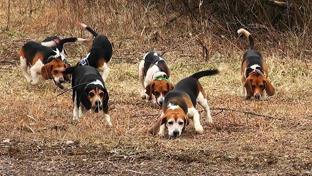 Don't Get Impatient | The Do's and Don'ts of Beagle Hunting