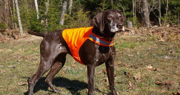 Dog Vest   Fido On The Hunt - A Complete Guide To Dog Hunting Gear