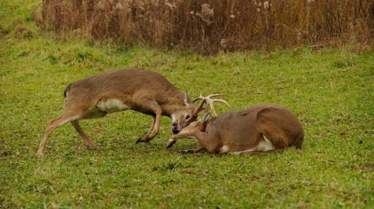 Whitetail deer butting heads | 5 Completely Unforgettable Facts About Whitetail Deer Hunters Should Know
