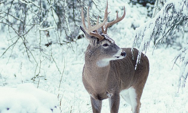 Whitetail coats change with the season | 9 Completely Unforgettable Facts About Whitetail Deer Hunters Should Know