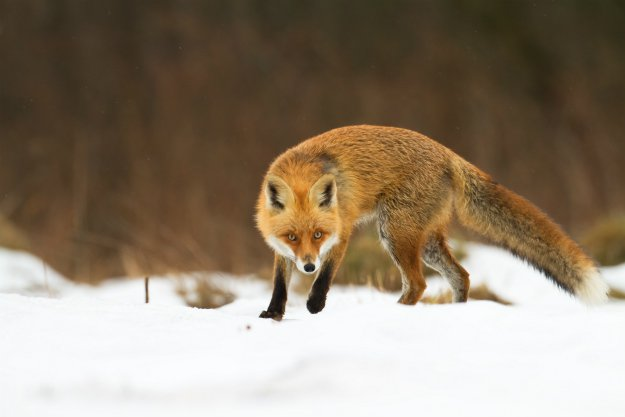 fox-in-snow How To Get Rid Of Foxes Without Killing Them In Winter