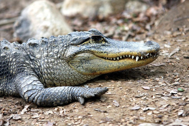Alligators | Wild Animal Attacks | What To Do When Attacked By Ferocious Beasts