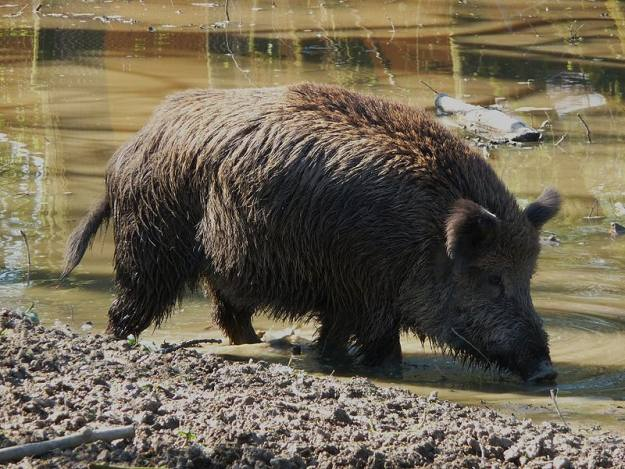 Hit hogs on their ear holes | Wild Hog Hunting Tips: Where To Shoot Them