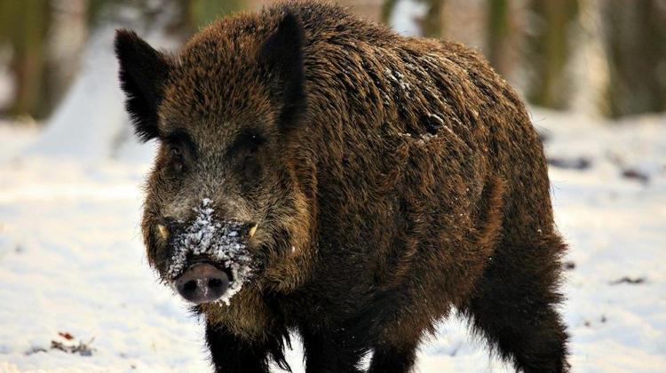 Wild Hog |