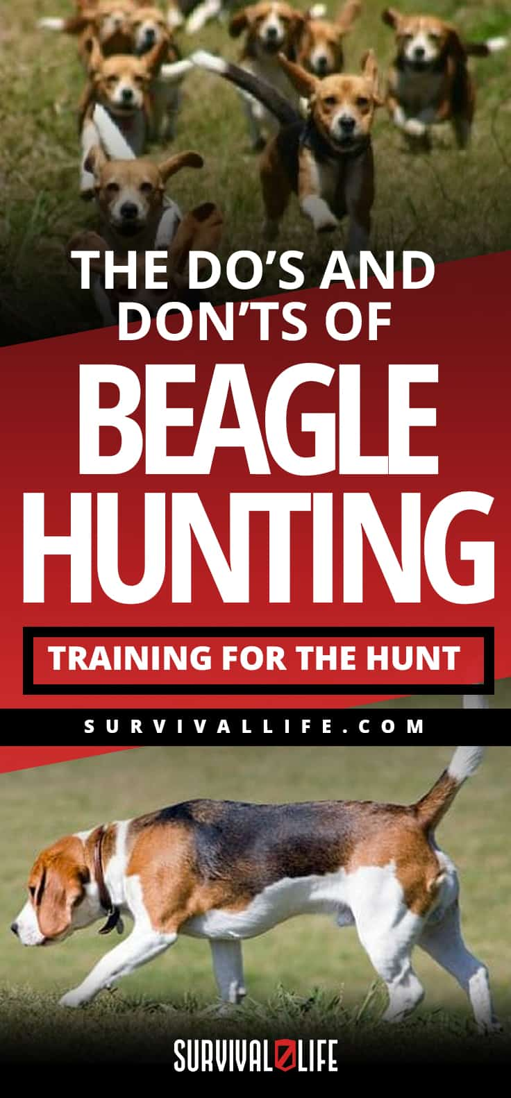 The Do's And Don'ts Of Beagle Hunting - Training For The Hunt | https://survivallife.com/beagle-hunting/