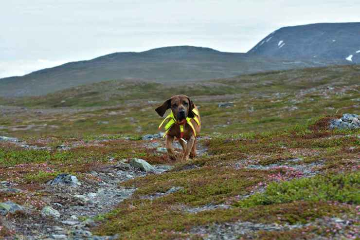 Bavarian mountain hound in the Swedish mountains | Fido On The Hunt: A Complete Guide To Dog Hunting Gear