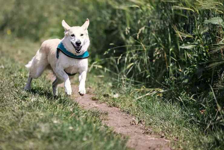 Running dog in the field | Fido On The Hunt: A Complete Guide To Dog Hunting Gear