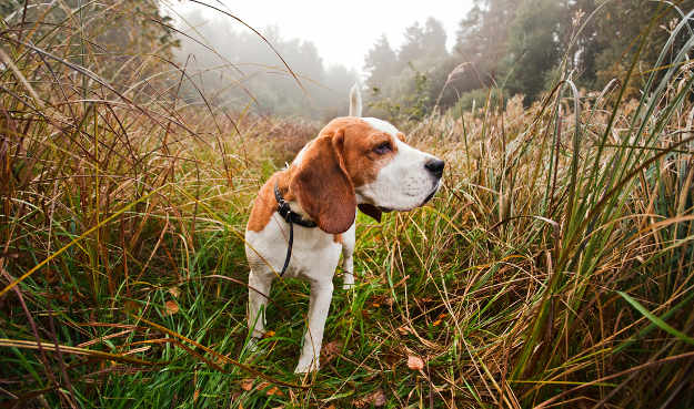 Beagle | Perfect Breeds of Hunting Dogs As Your Companion