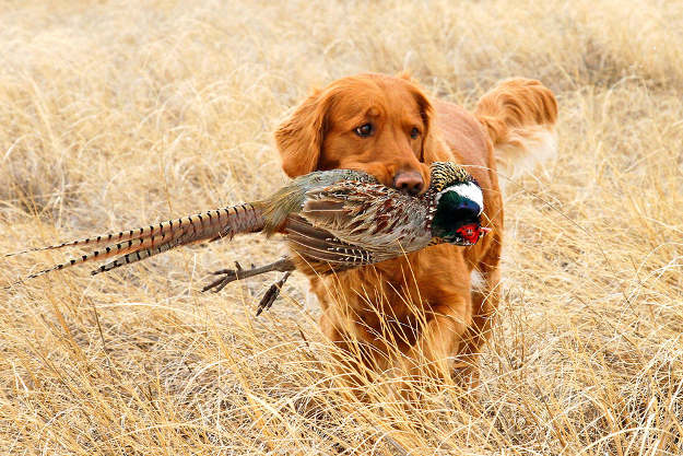 Golden Retriever   Perfect Breeds of Hunting Dogs As Your Companion