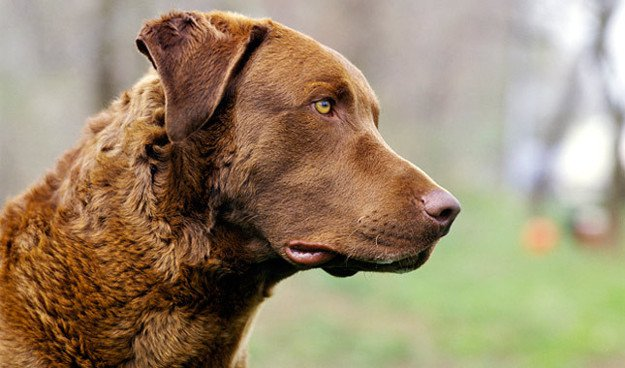 Chesapeake Bay Retriever   Perfect Breeds of Hunting Dogs As Your Companion