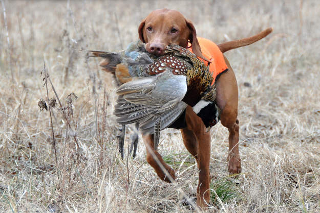 Bring a dog   Practical Quail Hunting Tips Every Hunter Should Follow