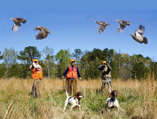 Don't shoot a low-flying quail   Practical Quail Hunting Tips Every Hunter Should Follow