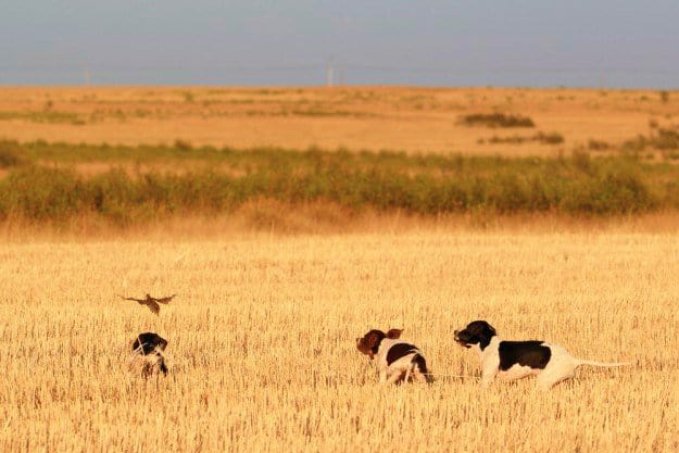 Don't Shoot a Low-flying Quail | Practical Quail Hunting Tips Every Hunter Should Follow | how to hunt quail without a dog