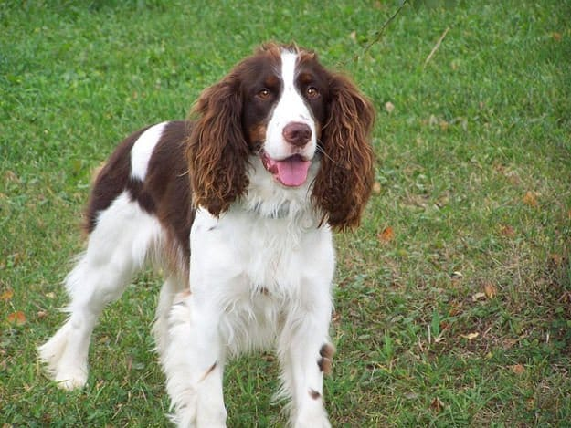 English Springer Spaniel | The 10 Best Bird Hunting Dogs For All Types Of Game And Hunts