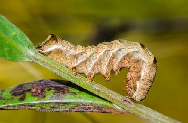 Bad Bugs-Cutworms   5 Beneficial Insects For The Garden: Good Bugs
