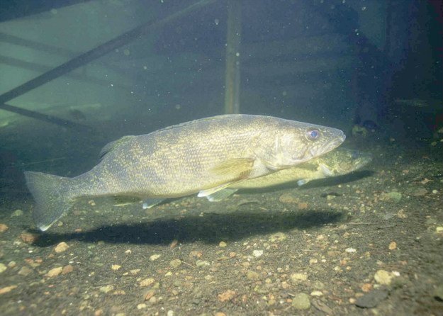 Hook, Line and Sinker! Springtime Fishing Tips You Need To Know river walleye