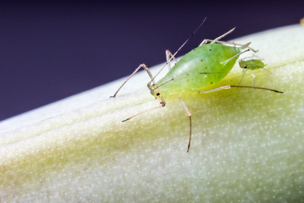 aphids | Good Bugs vs. Bad Bugs: 5 Beneficial Insects For The Garden
