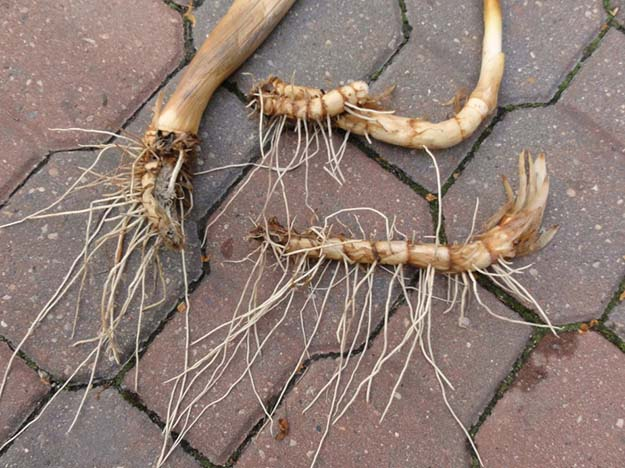 Cattail Roots | Cattails Survival Uses