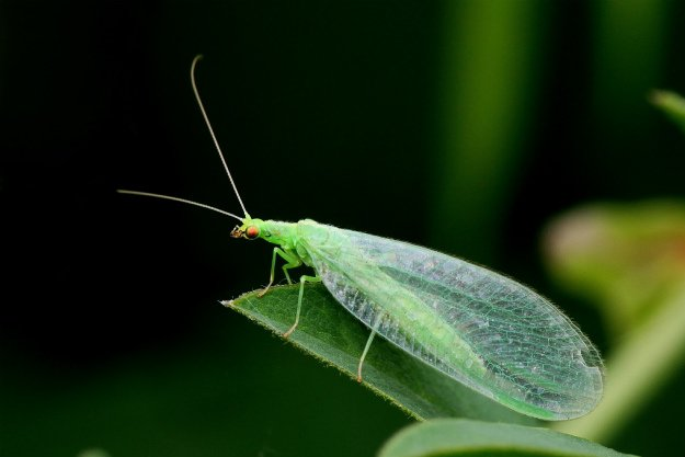 lacewing | Good Bugs vs. Bad Bugs: 5 Beneficial Insects For The Garden