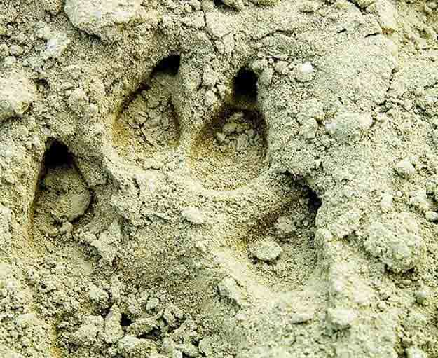 Learn to Read Animal Tracks | 7 Native American Survival Skills