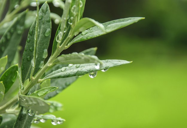 Olive Leaf | Triple A's of Nature's Medicine: Antiviral ~ Antibacterial ~ Antibiotic