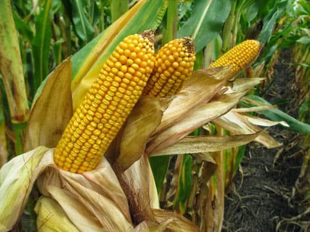 Grain Corn   20 Survival Gardening Plants For Spring