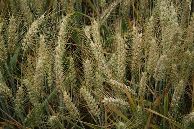 Barley | 20 Survival Gardening Plants For Spring
