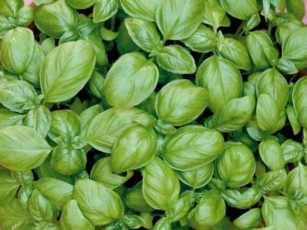 Basil   20 Survival Gardening Plants For Spring