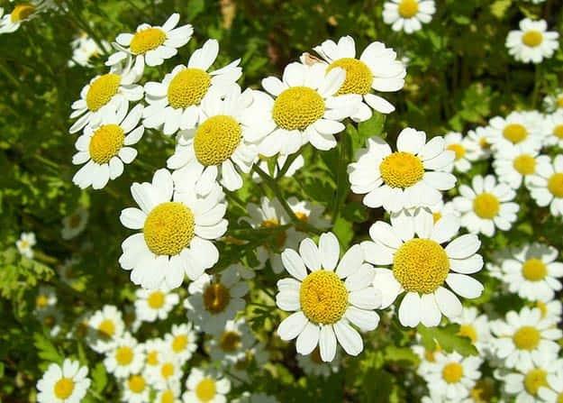 Chamomile   20 Survival Gardening Plants For Spring