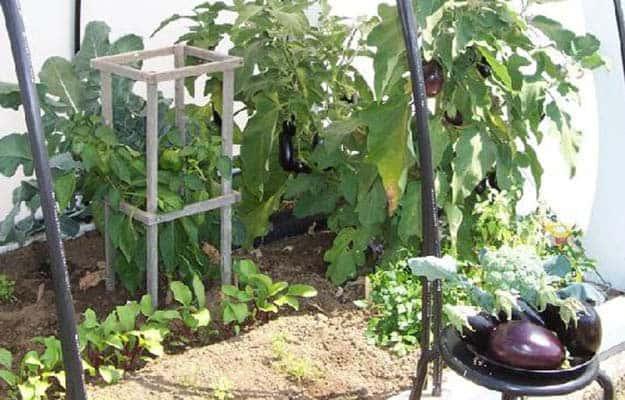 Eggplants | 20 Survival Gardening Plants For Spring