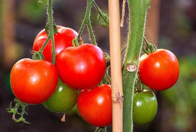 Tomatoes | 20 Survival Gardening Plants For Spring