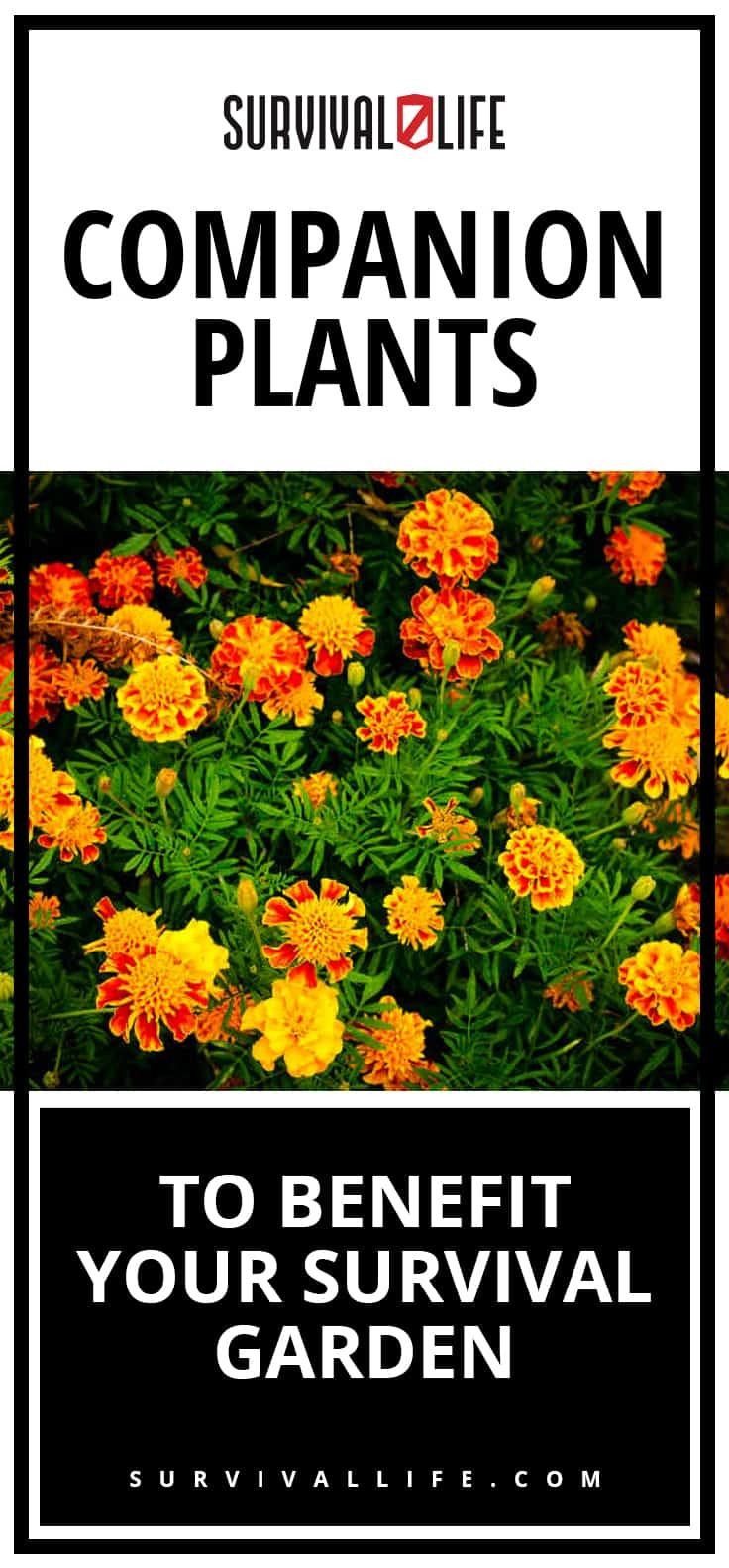 Companion Plants To Benefit Your Survival Garden [Survival Life]