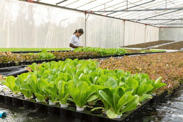 Harvesting Your Lettuce   Survival Gardening - How To Grow Lettuce Indoors