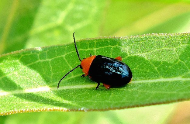 Flea Beetles   Survival Gardening - Growing The Perfect Peppers