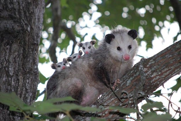 Opossums | How To Identify & Stop The 8 Top Predators That Prowl Your Homestead